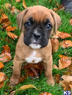 boxer puppy posted by jamesamartt