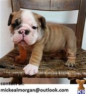 bulldog puppy posted by jamescoolmann