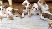 english bulldog puppy posted by jamesplate543