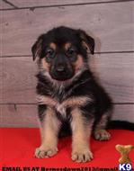 german shepherd puppy posted by jameswilli04