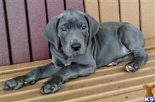 great dane puppy posted by jasonrothmans