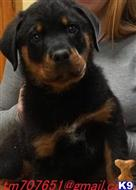 rottweiler puppy posted by javisyotti