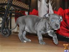 staffordshire bull terrier puppy posted by jaychristinann