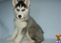 siberian husky puppy posted by jayson1112