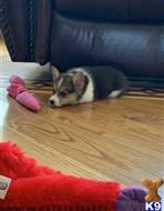 pembroke welsh corgi puppy posted by jeanettehaddison12