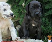 great dane puppy posted by jeanettetyler1