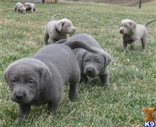 labrador retriever puppy posted by jeffttaz