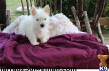 west highland white terrier puppy posted by jehanan996