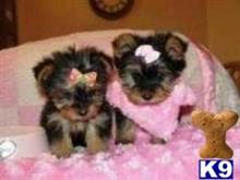 yorkshire terrier puppy posted by jene