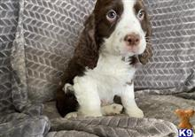 english springer spaniel puppy posted by jenniferphilips653
