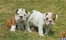 english bulldog puppy posted by jennyporttern