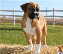boxer puppy posted by jennythortman
