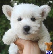 west highland white terrier puppy posted by jertsyda