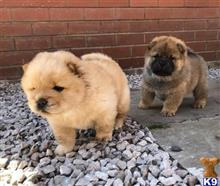 chow chow puppy posted by jidig604109