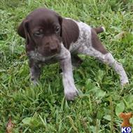 german shorthaired pointer puppy posted by jikoron844