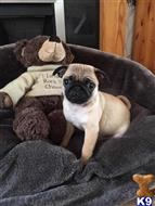 pug puppy posted by jilliano