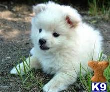 pomeranian puppy posted by Jimmie