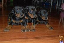 doberman pinscher puppy posted by jinisin5730