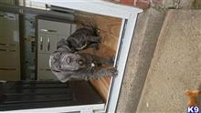 neapolitan mastiff puppy posted by John Wheatley