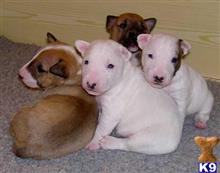 bull terrier puppy posted by johnthrelkeld393