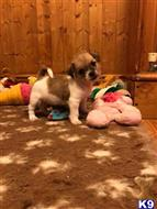 shih tzu puppy posted by jojack