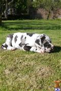 great dane puppy posted by joopstar