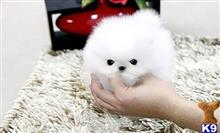 pomeranian puppy posted by josephineshields12