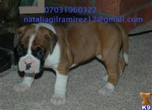 boxer puppy posted by josevences