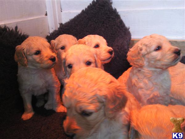 black goldendoodle dogs. Goldendoodles Puppies for Sale