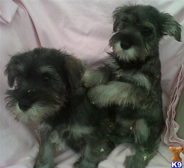 Miniature Schnauzer Puppies - Miniature Schnauzer Puppy for Sale in ...