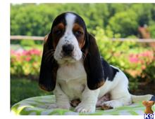 basset hound puppy posted by judygancorz