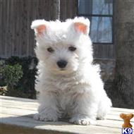 west highland white terrier puppy posted by juibertyder
