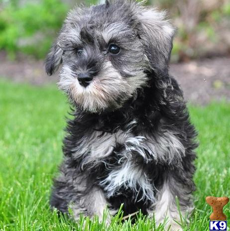 miniature schnauzer miniature schnauzerthey are kc registered with ...