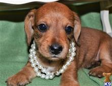 dachshund puppy posted by julia93