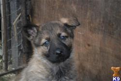 german shepherd puppy posted by k_wright