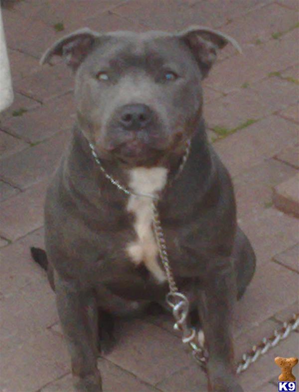 dogue de bordeaux cross staffordshire bull terrier for sale