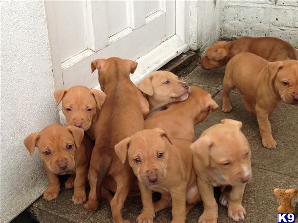 red nose american staffordshire terrier amazing litter of red nose puppies 41767 7496