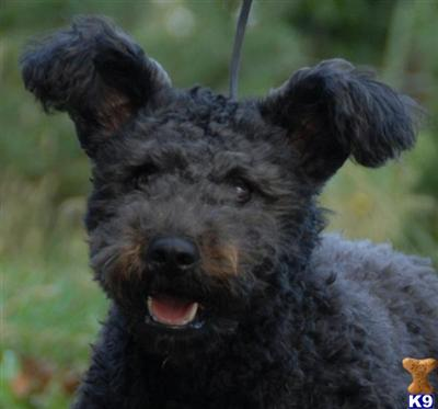 Pumi Dog For Sale Uk