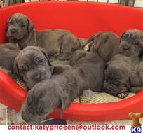 neapolitan mastiff puppy posted by katyprideen