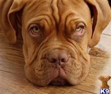 dogue de bordeaux puppy posted by kellyling