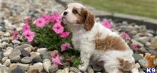 cavalier king charles spaniel puppy posted by kelvinlouis