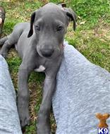 great dane puppy posted by kennedysadie7524324321