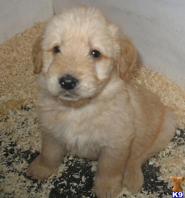 F1 Miniature Labradoodle Puppies 40950