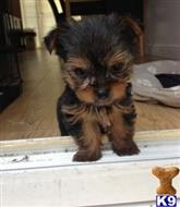 yorkshire terrier puppy posted by Kimlanfear09