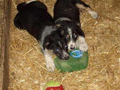 tri colour border collie pups - Border Collie Puppy for Sale in the