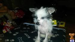 chinese crested puppy posted by kira thomas