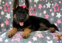 german shepherd puppy posted by knightfulman678