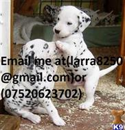 dalmatian puppy posted by koceno8862