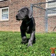great dane puppy posted by kumikomadisono8475931475