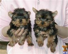 yorkshire terrier puppy posted by kylelump
